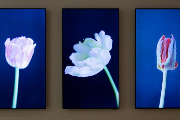 Mosaic Virus triptych of tulips
